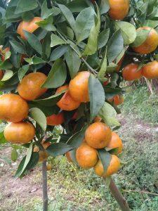 Làm giàu thành công nhờ trồng cam canh, lãi 700 triệu/năm