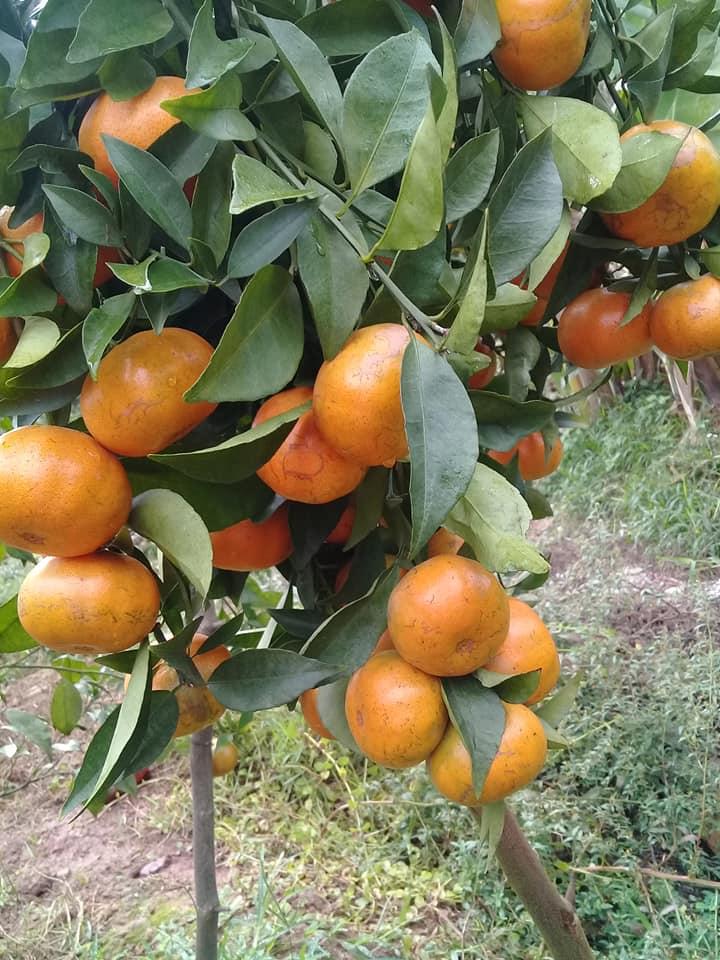 Cam đường canh là một giống quýt nhưng từ lâu nhân dân ta vẫn quen gọi là cam. Cam đường canh được trồng ở hầu khắp các địa phương trong nước, có nơi gọi là cam giấy vì có vỏ mỏng và dai. Tên giống được gọi theo tên địa phương nơi trồng và chọn lọc. Cam đường canh là loại cây sinh trưởng khỏe, ít gai hoặc không có gai, cây phân cành mạnh, cành nhỏ, có dạng hình lá to hoặc lá nhỏ, nhưng hình thái giống nhau: mép lá gợn sóng dài, đuôi lá nhọn và dài, gần như không có eo lá.   Quả hình cầu hơi dẹp, vỏ mỏng, nhẵn, ít túi dầu tinh, khi chín có màu đỏ gấc; giống chín sớm có màu vàng đa số chín vào trước tết Nguyên đán 1 tháng. Thịt quả mọng nước, íthạt vách múi hơi dai, ít xơ bã, ngọt mát nếu là giống chín muộn, giống chín sớm có vị ngọt đậm. Cam đường canh là giống có năng suất cao, thích nghi rộng, trồng được trên núi cao, vùng đồng bằng và ven biển thoát nước. Tính chống chịu với sâu bệnh hại khá tốt. Nếu trồng mật độ dày và thâm canh ngay từ đầu có thể đạt năng suất 40-50 tấn/ha.  Cây Cam Canh sinh trưởng khoẻ, tán cây hình dù, lá màu xanh đậm, cao 3-3,5 m, đường kính 3-4 m, ra hoa tháng 2-3, thu hoạch tháng 11-12. Trọng lượng trung bình 80 gr–120 gr/quả.