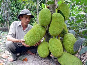 Lão nông kiên trì với cây mít Thái siêu sớm, thu 2 tỷ đồng/năm