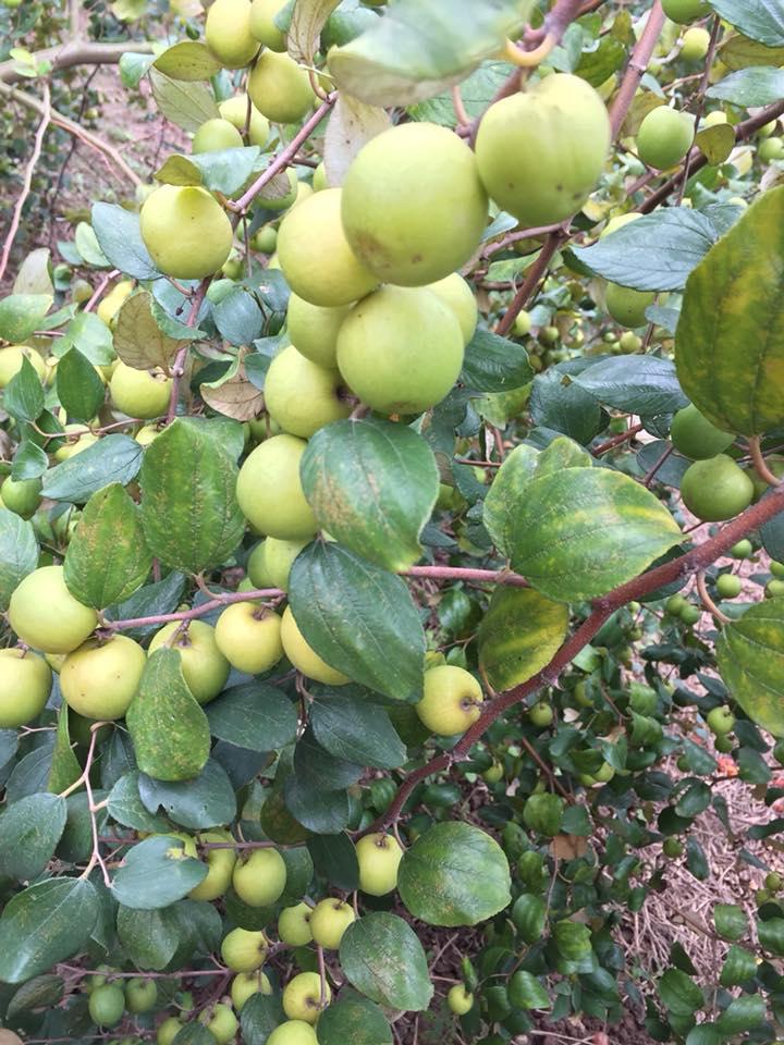 Giống táo ngọt H12là giống táo địa phương được trồng nhiều ở khu vực Khoái Châu Hưng Yên, Gia Lộc Hải Dương, Bắc Giang Và một số xã ở khu vực huyện Gia Lâm. Táo ngọt H12 có đặc điểm, trái táo tròn vỏ mỏng có màu xanh bóng, thịt táo màu trắng ngà. Khi chín vỏ quả chuyển sang màu vàng. Táo ngọt H12 thu hoạch vào tháng 10-11-12 âm lịch. Do đó có thể được dùng để bán tết rất tốt - Đây làgiống táoquả có chất lượng cao: dạng quả đẹp hấp dẫn, ăn giòn, ngọt, thơm, quả to trung bình 20 - 25 quả/kg, đáp ứng được thị hiếu người tiêu dùng hiện nay