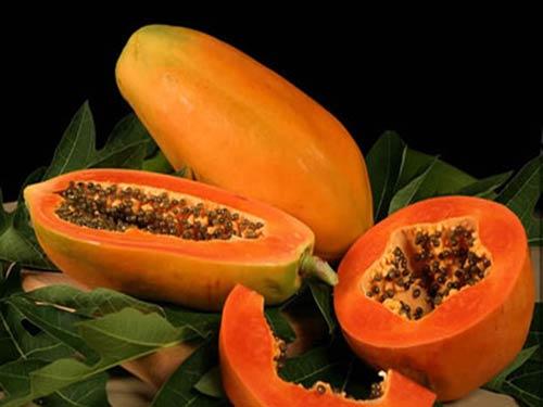 Cây Đu Đủ Đài Loan phát triển rất khỏe, cây có trái sớm, ruột hồng phi, cây có trái đầu tiên lúc cây cao khoảng 80cm. Tỷ lệ đậu trái cao, một mùa 1 cây có thể đậu 30 trái trở lên, sản lượng rất cao. Trái lớn, trọng lượng trái từ 1,5Kg – 2Kg, (có thể đạt 3 kg/ trái). Cây cái ra trái hình bầu dục, cây lưỡng tính cho trái dài. Da nhẵn bóng, thịt dày màu đỏ tươi, độ đường thông thường khoảng 13 độ brix, dễ vận chuyển. Cây đu đủ rất ưa nắng và trời ấm áp. Nhiệt độ dưới 0 độ C làm cây chết hay hư hại nặng nề. Đu đủ cũng cần nhiều mưa và mưa phân phối đồng đều. Nếu không thì cần tưới nước, đu đủ mới cho nhiều trái. Thiếu nước mùa nắng, hoa sẽ ít đậu trái và trái non sẽ rụng nhiều. Tuy nhiên, nếu quá nhiều nước, nhất là nước đọng thì cây mọc hay phục hồi chậm, yếu. Lá, rễ bị hư hại nhiều. Cây đu đủ cũng không chịu đựng được gió to.