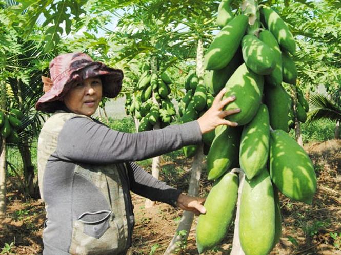 Đu đủ sau trồng 7 tháng đã có thể thu quả làm rau xanh, 9 tháng cho thu quả chín ăn tươi. Nếu thu quả để ăn tươi, nên thu khi trên quả xuất hiện các vết đốm hoặc sọc vàng nhạt (chín sinh lý), sau thu vài ngày quả sẽ chín hoàn toàn, chất lượng sẽ ngon nhất. Nếu thu sớm hơn (quả chưa chín sinh lý) quả ăn sẽ nhạt, giảm giá trị thương mại. Với cách trồng này vườn đu đủ sẽ cho thu hoạch quanh năm, năng suất trung bình có thể đạt 70 - 120kg/cây/năm.    Cây đu đủ luôn nghiêng một góc 45 độ so với mặt vườn trong suốt quá trình sinh trưởng sẽ rất sai quả, dễ thu hoạch và quản lý sâu bệnh hại, ít bị đổ gãy khi gặp mưa bão.