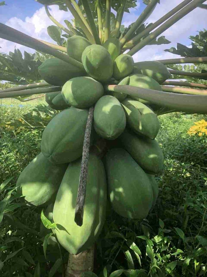 Cây giống có nguồn gốc từ nguồn nhập nội của Thái Lan, sau khi trồng 5 – 7 tháng cho thu hoạch. Độ đóng trái thấp, từ 40 – 50 cm, nhiều cây chỉ cách mặt đất 20 cm nên rất tiện chăm sóc, thu hoạch và kéo dài chu kỳ kinh doanh, tăng hiệu quả kinh tế.  Tùy chế độ chăm sóc và mùa vụ, giống cho trái ở 2 dạng: Trái tròn và trái dài, trong đó tỷ lệ trái dài nhiều hơn, bán được giá cao hơn vì được nhiều người ưa chuộng. Trọng lượng bình quân 1,5 – 2 kg/trái, có trái nặng tới 3 kg.  Khi chín, vỏ trái có màu vàng tươi, ruột đỏ vàng như ruột gấc, tỷ lệ phần ăn được cao, tới trên 85%, ít hạt, ăn ngọt và thơm. Thịt dày, chắc, thuận tiện cho việc bảo quản và vận chuyển đi xa nếu thu đúng độ chín cần thiết.Giống cho năng suất rất cao, tất cả các cây đều cho trái hầu như quanh năm, mỗi cây cho bình quân 50 – 60 trái/năm, sản lượng đạt tới 90 – 100 kg/cây/năm