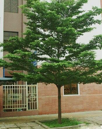 Tên thường gọi:Bàng Đài Loan  Tên khoa học:Terminalia mantaly(Bucida molineti I, Terminalia molineti)  Họ thực vật:Combretaceae(Bàng)  Chiều cao:3-3,5m– Đường kính gốc:8-10cm  Công dụng:Bàng Đài Loanlà cây tạo bóng mát trên đường phố, các công viên, khu ở, tăng mảng xanh, cải tạo bầu không khí xung quanh. Cây có tán lá đẹp, xếp tầng, mang lại nét hiện đại và xanh mát cho các tuyến đường, cho cảnh quan đô thị.