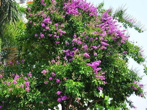 Tên khoa học: Lagertroemia speciosa, thuộc họ Lythraceae - Do hoa có màu tím hồng đẹp, nên hiện nay thường được trồng làm cây cảnh quan đô thị. - Gỗ Bằng Lăng nước màu nâu vàng, dẻo, dùng đóng đồ mộc thông thường hoặc có thể đóng thuyền.  - Cây Bằng Lăng là cây gỗ lớn cao 20 m, cành non vuông cạnh. Lá đơn rìa nguyên mọc đối, hình bầu dục dài 15 cm, rộng 8 cm, cuống dài 1 cm, cứng, không lông. - Là cây cho Hoa đẹp, hoa to, màu tím hồng, nụ tròn đo đỏ. Hoa tự là chùm tụ tán đứng ở ngọn, đào có lông sát, 6 cánh hoa, có cọng dài 5mm, tiểu nhụy nhiều. - Quả nang tròn dài 2cm, nứt làm 5 mảnh, hạt dài 12 – 15 mm.