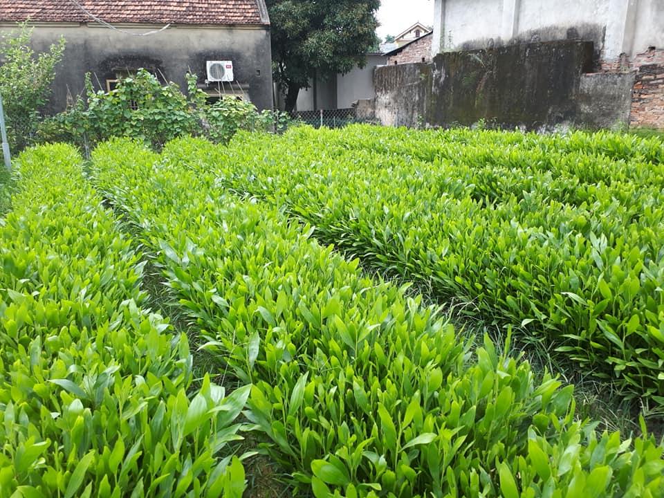 Cây gỗ nhỡ, cao tới 25-30m, đường kính tới 30-40cm, cao và to hơn Keo tai tượng và Keo lá tràm, các đặc tính khác có dạng trung gian giữa 2 loài bố mẹ. Thân thẳng, cành nhánh nhỏ, tỉa cành khá, tán dày và rậm. Từ khi hạt nẩy mầm tới hơn 1 tháng hình thái lá cũng biến đổi theo 3 giai đoạn lá mầm, lá thật và lá giả. Lá giả mọc cách tồn tại mãi. Chiều rộng lá hẹp hơn chiều rộng lá keo tai tượng nhưng lớn hơn chiều rộng lá keo lá tràm. Keo lai có sức sinh trưởng nhanh hơn rõ rệt so với loài keo bố mẹ. Với một số dòng keo lai đã chọn lọc trồng thâm canh 3 tuổi đạt trung bình 8,6-9,8m về chiều cao, 9,8-11,4cm về đường kính, 19,4-27,2 m3/ha/năm về lượng sinh trưởng và 50-77m3/ha về sản lượng gỗ. Rừng keo lai 7-8 tuổi đạt 150-200m3 gỗ/ha, có thể nhiều hơn 1,5-2 lần rừng Keo tai tượng và Keo lá tràm. Keo lai có nhiều hạt và khả năng tái sinh tự nhiên bằng hạt rất mạnh. Rừng trồng 8-10 tuổi sau khi khai thác trắng, đốt thực bì và cành nhánh, hạt nẩy mầm và tự tái sinh hàng vạn cây trên 1 ha. Tuy nhiên không trồng rừng keo lai bằng cây con từ hạt mà phải bằng cây hom.