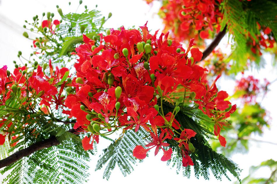 Phượng Vĩ, tên khoa học làDelonix regia,thuộc họCaesalpiniaceae. Cây cò nguồn gốc từ Madagasca, có hoa rực rỡ và tạo bóng mát nên được trồng rộng rãi ở các nước nhiệt đới ẩm. Ở nước ta, cây được trồng hầu hết ở các thành phố lớn và đặc biệt được trồng nhiều ở trường học. Cây gắn liền với mùa hè, nên còn gọi là cây mùa thi. Và, chắc hẳn đã và đang tồn tại những cánh phượng đỏ trong tâm hồn của những ai đã và từng bước qua ngưỡng cửa sân trường.