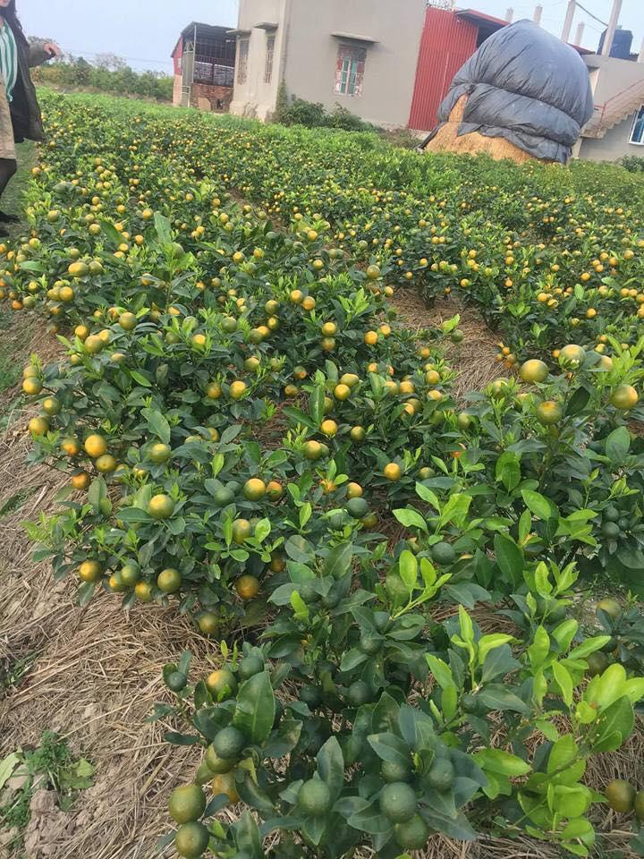 Quấtlà loạicâycảnh được trồng trong nhà, ngoài vườn vào những dịp lễ, tết. Ngoài ra,quấtcòn là vị thuốc quý dùng để chữa bệnh cho con người.