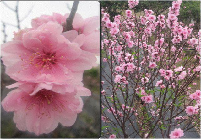 Phát triển kinh tế từ trồng hoa đào phai và đào bích