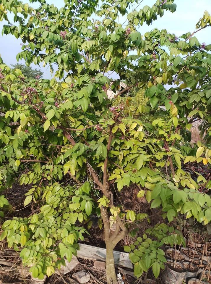 Cây Khế Choai cao từ 1.5m - 2m- 2.5m - 3m...  Đường kính thân 2cm - 2.5cm - 3cm - 4 cm...  Cây trên 1 năm tuổi. Cây cho quả ngay hoặc sau 1 năm tùy đường kính thân  Khi trồng cây choai cây sẽ phát triển nhanh, chống chịu sâu bệnh tốt, sẽ rút ngắn đượcthời gian chăm sóc, tiết kiệm được chi phí sản xuất, nhanh cho thu hoạch.  Ngoài ra trung tâm còn cung cấp cây Khế Ngọt to đường kính trên 4cm  Trung tâm có dòng cây khế choai khác như: Khế Chua Choai ,và các giống Bưởi, Ổi, Chanh, Cam, Nhãn, Mít, Bơ , Hồng Xiêm choai các loại  Để biết thêm thông tin chi tiết về giống Xoài Thái choai hay các dòng cây choai khác quý khách hàng vui lòng liên hệđể được tư vấn hỗ trợ mua hàng 0964.113.266