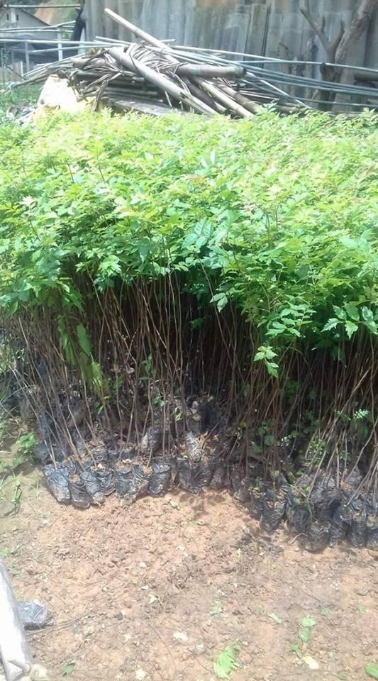 Cây lát xoan hay còn gọi là cây lát hoa với đặc điểm thân cây thẳng, mọc cao cho chất lượng gỗ tốt, thích hợp cho trồng rừng hoặc có thể trồng làm cây bóng mát. Lát hoa thường phân bố tự nhiên ở các tỉnh Bắc miền Trung và miền Bắc, từ Lạng Sơn đến Hà Tĩnh và hiện nay được trồng làm cây bóng mát hoặc trồng thành rừng kinh tế ở một số nơi.     Lát hoa có thân thẳng, khi trưởng thành có thể cao 30 m, đường kính thân lên tới cả 100 cm; lá kép lông chim 1 lần chẵn, cuống chung dài 30-40 cm, mang 7-10 đôi lá chét mọc cách hoặc gần đối, dài 10-12 cm, rộng 5-6 cm, hình xoan hay mũi mác, đầu có mũi nhọn, hoa lưỡng tính, màu vàng nhạt, đài có lông, tràng 5 cánh xòe rộng, mép cuốn lại, phủ lông mịn ở mặt ngoài. Cây ưa sáng, mọc chậm, lúc nhỏ chịu bóng. Tái sinh hạt tốt.  Gỗ Lát hoa được dùng đóng đồ trang trí nội thất, đồ dùng gia dụng và cả đồ mộc mỹ nghệ.  Nhựa cây màu vàng trong suốt có thể dùng pha trộn với nhiều loại nhựa khác để sử dụng. Hoa chứa chất nhuộm màu vàng và màu đỏ.  Trong Y học, người ta dùng vỏ như một chất gây se mạnh và thường dùng để hạ sốt.  Cây lát xoan giống được ươm từ hạt, các hạt giống được tuyển lựa kỹ nên cho chất lượng cây iống khỏe, phát triển nhanh.