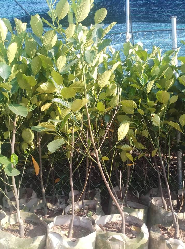 Cây Mít Malaysia Choai cao từ 1.5m - 2m- 2.5m - 3m...  Đường kính thân 2cm - 2.5cm - 3cm - 4 cm...  Cây trên 1 năm tuổi. Cây cho quả ngay hoặc sau 1 năm tùy đường kính thân  Khi trồng cây choai cây sẽ phát triển nhanh, chống chịu sâu bệnh tốt, sẽ rút ngắn đượcthời gian chăm sóc, tiết kiệm được chi phí sản xuất, nhanh cho thu hoạch.  Ngoài ra trung tâm còn cung cấp cây Mít Malaysia to đường kính trên 4cm  Trung tâm có dòng cây Mít choai khác như: Mít thái siêu sớm choai , Mít ruột đỏ choai và các giống Bưởi, Ổi, Chanh, Cam, Nhãn, Mít, Bơ , Hồng Xiêm choai các loại  Để biết thêm thông tin chi tiết về giống Mít choai hay các dòng cây choai khác quý khách hàng vui lòng liên hệđể được tư vấn hỗ trợ mua hàng 0964.113.266
