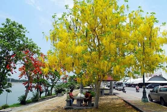 Cây muồng hoàng yến hay thường được gọi là muồng hoàng hậu, hoa lồng đèn, bò cạp vàng. Thuộc cây thân gỗ hoa đẹp có mùi thơm nên được lựa chọn trồng làm cây bóng mát, cũng như làm đẹp cảnh quan tại các đường phố, khu đô thị…  Cây muồng hoàng yến có tán rộng, màu lá xanh, hoa vàng dài từng chùm với mùi thơm nhẹ quyến rũ. Mỗi dịp ra hoa cây mang lại dấu ấn tuyệt vời cho người qua đường.   Nguồn gốc xuất xứ: tại miền nam Châu Á  Ý nghĩa phong thủy của cây muồng hoàng yến  Cây thể hiện cho sự may mắn và tiền tài. Nhất là khi nở hoa vào mùa hè tạo nên dấu ấn đặc biệt cho nhiều con đường.  Đặc điểm hình thái của cây muồng hoàng yến  Thân: thuộc cây thân gỗ, đường kính khoảng 40cm, vỏ màu xám trắng, bên trong gỗ có màu hồng. Phân cành thấp, nhẵn  Lá: thuộc dạng lá kép lông chim chẵn, lá chét mọc đối hình bầu dục, đầu nhọn  Hoa, quả: hoa thường mọc theo cụm, cành rủ xuống, cánh hoa dạng hình bầu dục mặt ngoài phủ lông mượt màu vàng. Quả đậu hình trụ, hơi có đốt ( hạt có chứa độc) .