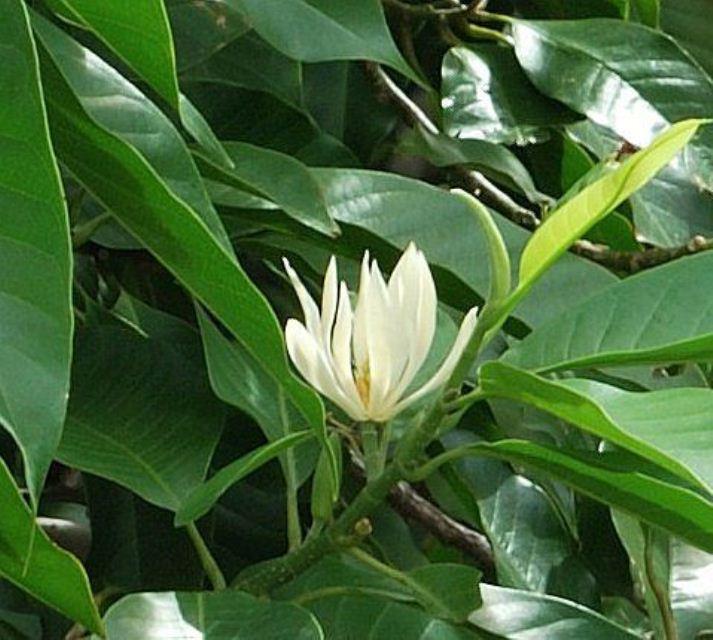 Tên thường gọi:Ngọc Lan Ta, Sứ Ngọc Lan, Ngọc lan HoaVàng  Tên tiếng Anh:champaca, champak, champac, champa, cempaka, sampige hoặc shamba  Tên khoa học:Michelia champaca L.  Họ thực vật:Magnoliaceae(Ngọc lan)  Chiều cao:3m-3,5m – Đường kính thân: 7cm-10cm  Công dụng: Ngọc Lan Ta là loài cây có hoa đẹp và thơm ngát hương, thường được dùng làm cây bóng mát trồng trong công viên, vườn thú, khu dân cư đô thị, tạo cảnh quan cho sân vườn biệt thự…