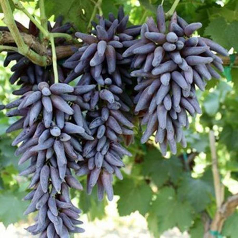 Nho ngón tay phù thủy là một trong những loại trái cây độc lạ nên chưa được trồng phổ biến ở nhiều nơi. Nho ngón tay là giống nho lai giữa 1 giống ở Mỹ và 1 giống ở khu vực Địa Trung Hải. Chúng được canh tác ở 1 khu vực nhỏ của Canifornia. Thay vì hình dáng tròn giống nho truyền thống, chúng lại thuôn dài như ngón tay. Mỗi quả nho ngón tay dài khoảng 4cm, đường kính 1cm. Khi chín, nho có màu tím đỏ đậm, da căng bóng. Nho không hạt, vị ngọt sắc, thơm dịu nhẹ khiến không ít khách tò mò tìm mua.