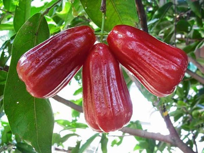 Kỹ thuật trồng cây roi đỏ tương đối dễ nên từ lâu đây là loại cây được nhiều bà con lựa chọn trồng mang lại kinh tế cho gia đình. Cây roi đỏ có tán lá sum suê, xanh mướt quanh năm. Hoa, lá có mùi hương thơm dễ chịu. Quả roi đỏ có hình chuông, vỏ đỏ ruột xanh, quả to cỡ 3 ngón tay người lớn, ăn có vị ngọ mát. Đặc biệt cây giống roi đỏ sinh trưởng khỏe, ít sâu bệnh. Trồng chỉ một hai năm có thể cho hoa kết trái.