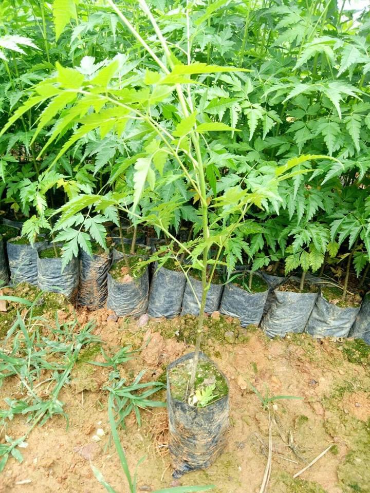 Cây Xoan – còn gọi là Xoan ta có tên khoa học là Melia azedarach L thuộc họ Xoan Meliaceae. Là loài cây được trồng phổ biến trong nhân dân, có vùng sinh thái rộng. Gỗ Xoan nhẹ, dễ bào nhẵn, cưa xẻ và chạm trổ được dùng để đóng đồ mộc, dùng trong xây dựng, đồ dùng trong gia đình. Xoan có thể trồng cây phân tán hoặc trồng thành rừng.