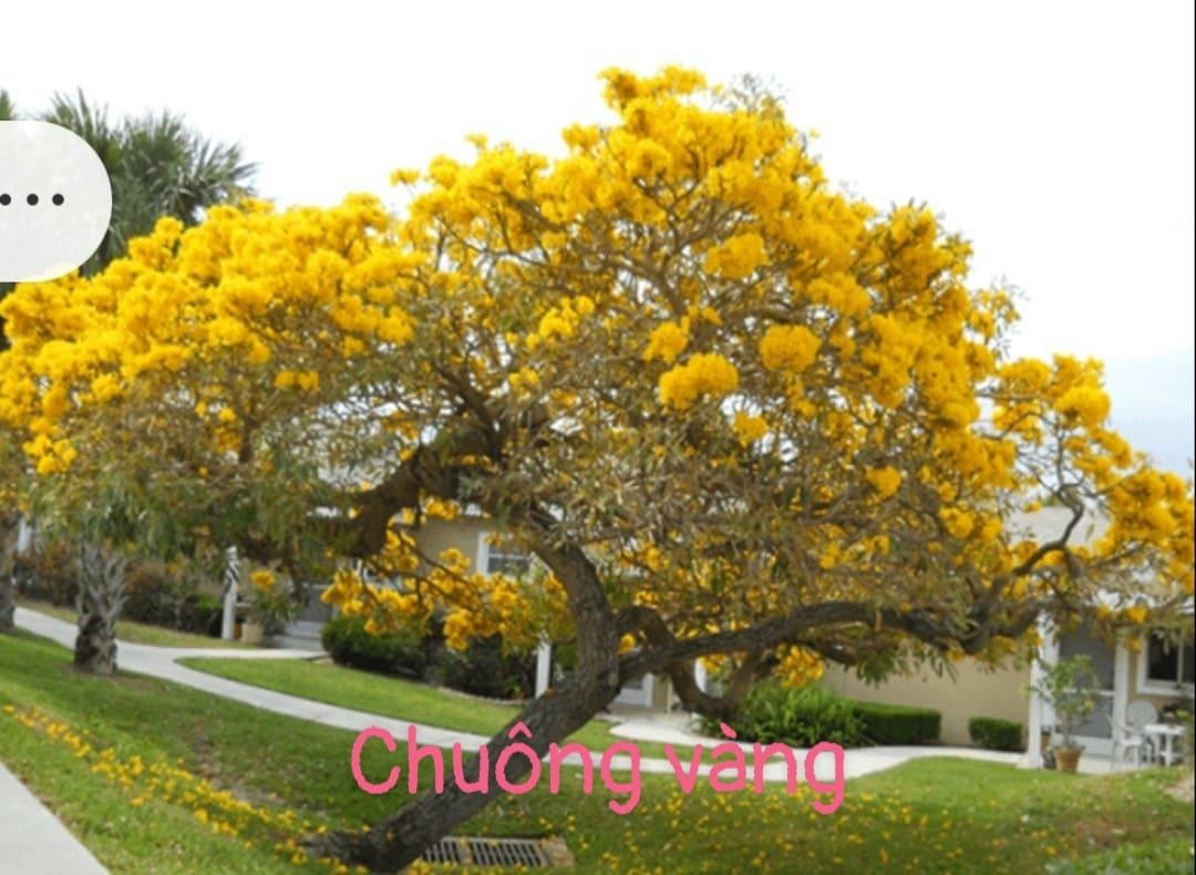 Giống cây chuông vàng